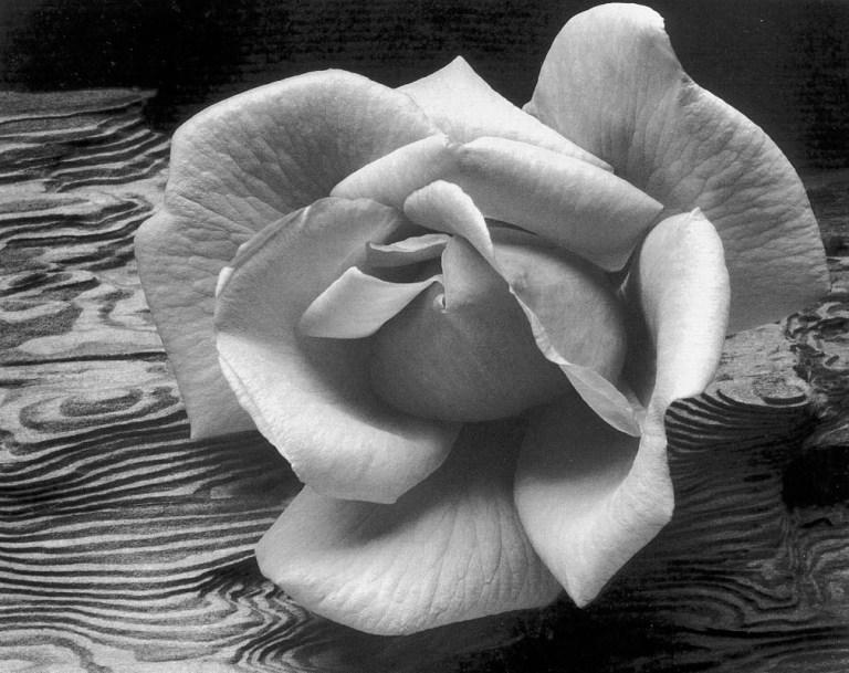 Ansel Adams, Rosa y madera, 1933