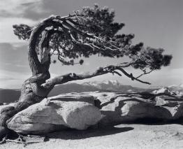 jeffrey-pine-1549x1260