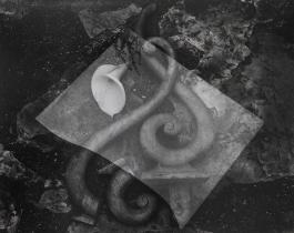Lily and Glass, Edward Weston, 1939