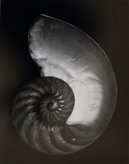 Shell, Edward Weston, 1927